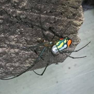 female Orchard spider
