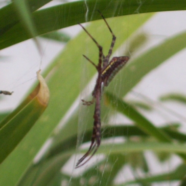 juvenile A. aurantia